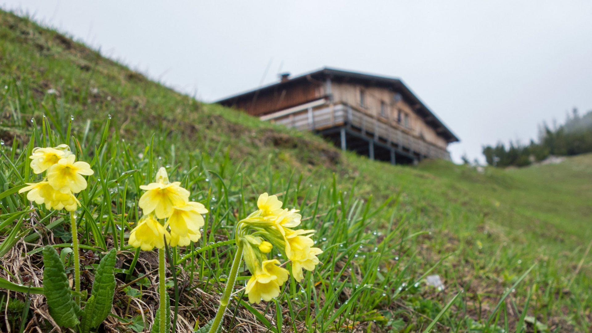wandern-frassenhuette-muttersberg-bludenz-fruehling-blumen-himmelschluessel-arb © Verena Hetzenauer / Vorarlberg Tourismus